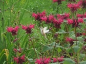 Very rare hummingbird spotted in N.S.